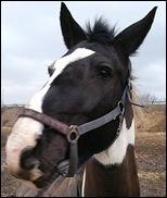 horse_bratte