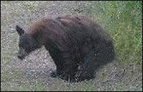 bear_shit
